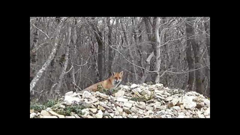 Встретили лисицу в лесу ст.Натухаевская
