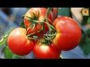 Какие сорта томатов САМЫЕ УРОЖАЙНЫЕ Лучшие сорта для выращивания помидоров для теплицы ДАЧНЫЕ СОВЕТЫ