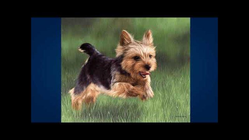 Йоркширский терьер Yorkshire Terrier