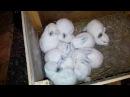 Убираю маточники Крольчатам 20 дней Потеря крольчёнка