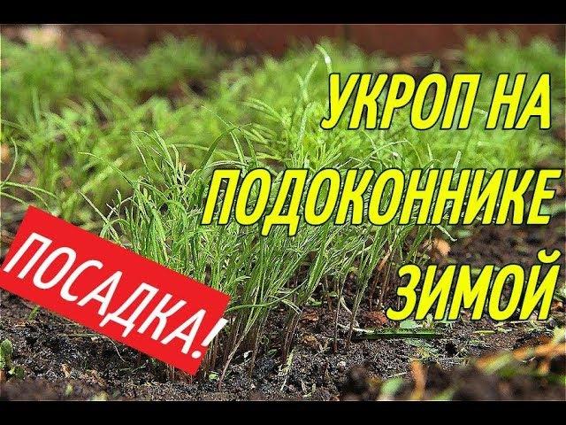 УКРОП НА ПОДОКОННИКЕ ЗИМОЙ/ПОСАДКА В ГОРШКИ.