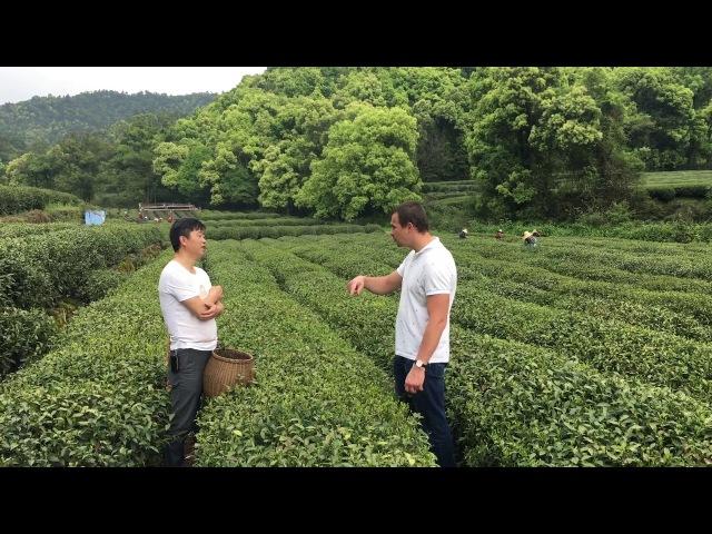 Разговариваем с хозяином чайной плантации Китайский чай Лунцзин