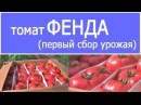 ВНИМАНИЕ Первый сбор урожая томата ФЕНДА 19 - 02 - 2018