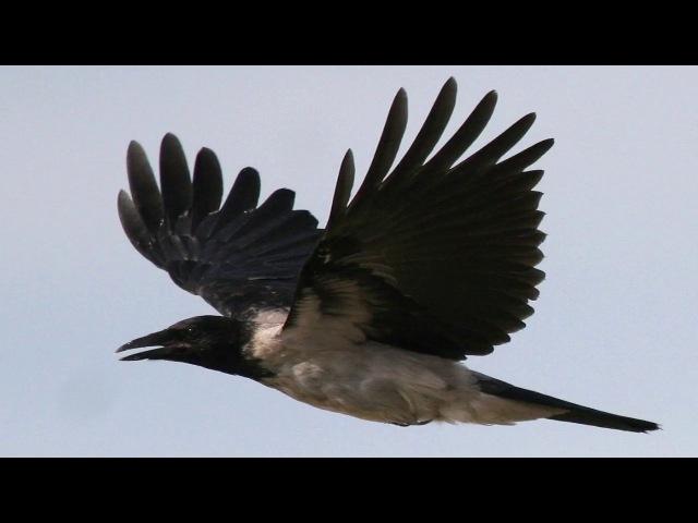 Серая ворона (рассказывает орнитолог Елена Зубакина)
