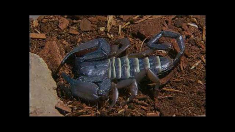 Сущность Зверя История Скорпиона