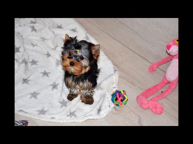Продажа щенка йоркширского терьера супер мини мальчик