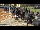 Испанские козы Ввоз семени коз испанских пород в Россию