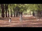 The Dancing Verreaux's Sifakas - Berenty, Madagascar HD