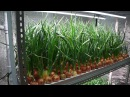 Лук за 21 день на гидропонике. AGROLUX 3.0 для выращивания зеленого лука