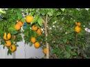 Как подкармливать комнатный лимон апельсин