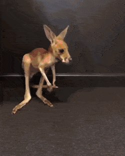 First hops! This baby kangaroo is too much... 😍😍 Credit: Storytrender - Create, Discover and Share GIFs on Gfycat