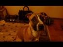Питбуль тупая собака убийца