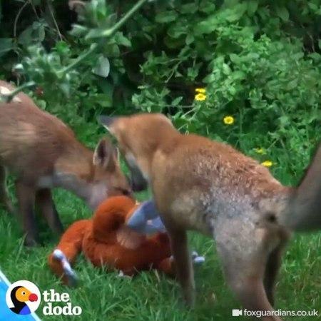 Маленькие лисички часто забегали во двор этой женщины и она решила их угощать чем то и оставлять им игрушки