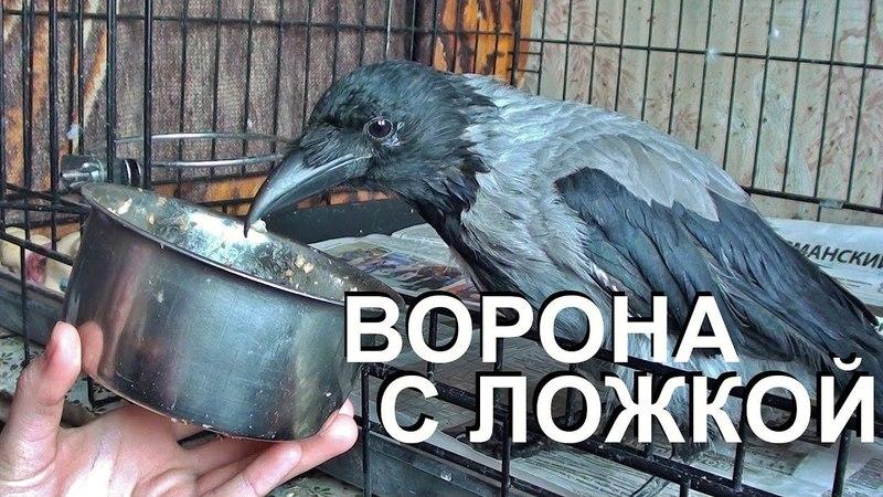 Ворона ложкой кашку мешала