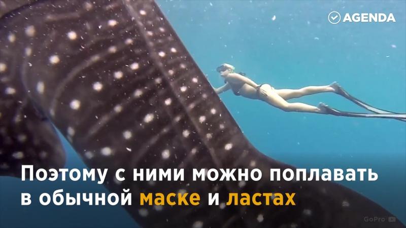 Поплавать с китовой акулой