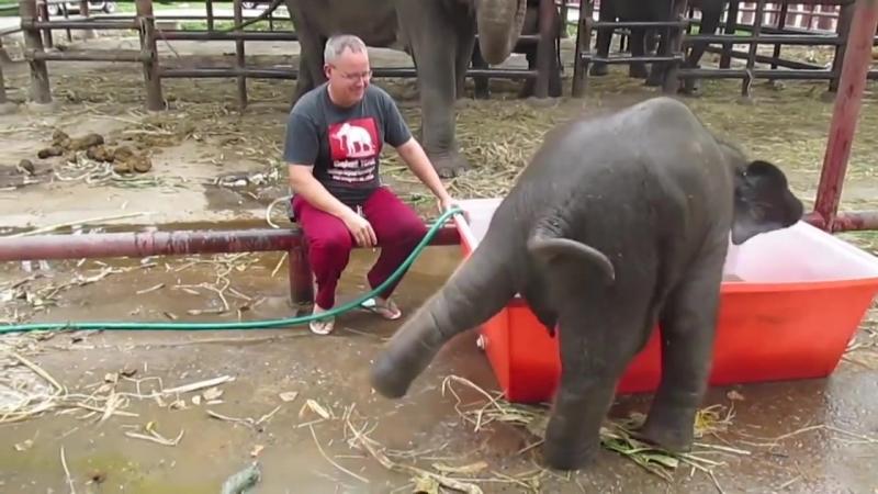 Неуклюжий слонёнок искупался в ванне