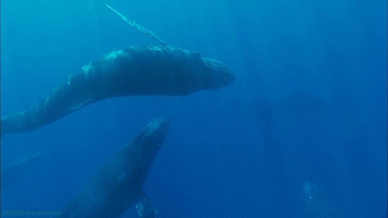 BBC «Морские гиганты (3). Голоса океана» (Познавательный, природа, животные, 2011)