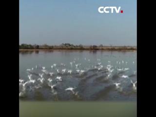 С озера Поянху на север улетели первые птицы