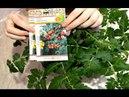 Комнатные томаты Пересадка и размышления о сортах