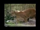 Environnement et pour rappel : Les cougars ont officiellement disparu