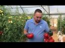 Как вырастить томаты помидоры в теплице Выращивание томатов в теплицах продл...