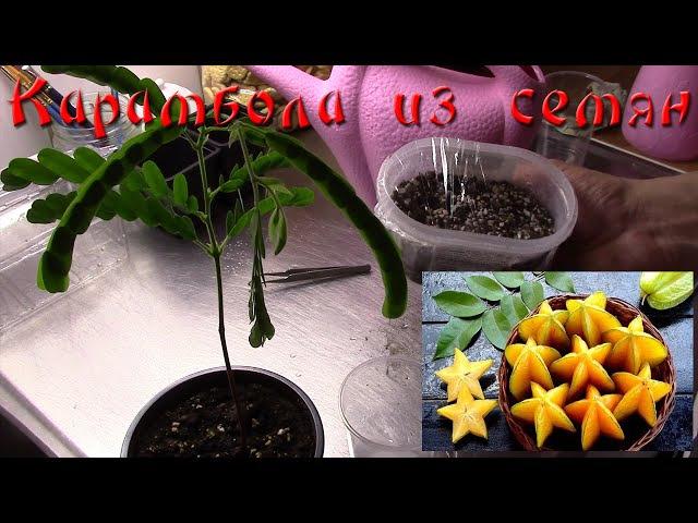Карамбола из семян. Семена из Тайланда. Часть 1.