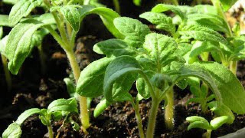 Когда сеять томаты Не спешите сеять рано!