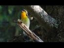 Мухоловка японская Песня Narcissus flycatcher Song Заповедник Курильский