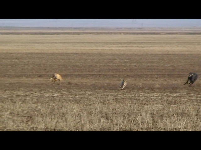 Greyhound hunting. Красный Маныч