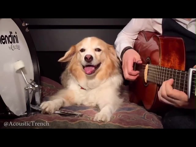 Play Guitar With Dog Pumped Up Kicks by Foster The People coub