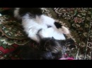 Кошка-жадина не дает играть с маленькими котятами