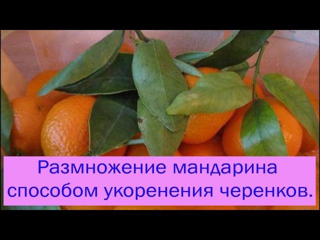 Размножение мандарина способом укоренения черенков. Сад и огород выпуск 098