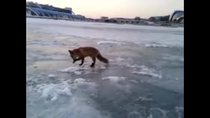 Рыбак накормил лису рыбкой