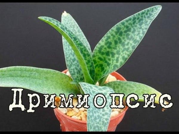 ДРИМИОПСИС или ЛЕДЕБУРИЯ, легкое в выращивании растение. Уход и разведение в домашних условиях