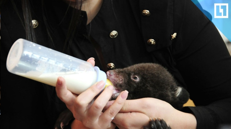 Медвежонка-подкидыша кормят из бутылочки