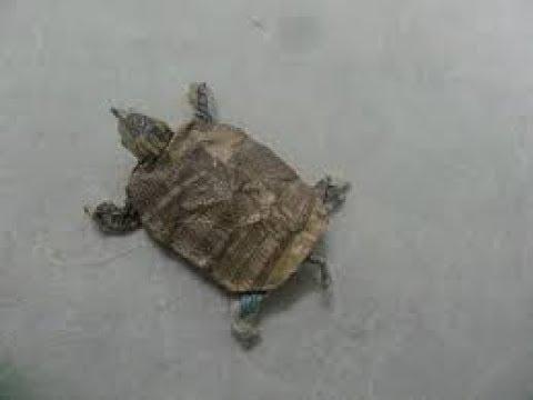 How to make origami turtle (pham hoang tuan )