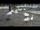 Лебеди в Балтийске! В центре города разгуливают лебеди я в шоке!