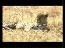 Мир животных Дикие кошки Серенгети Документальный фильм про диких кошек