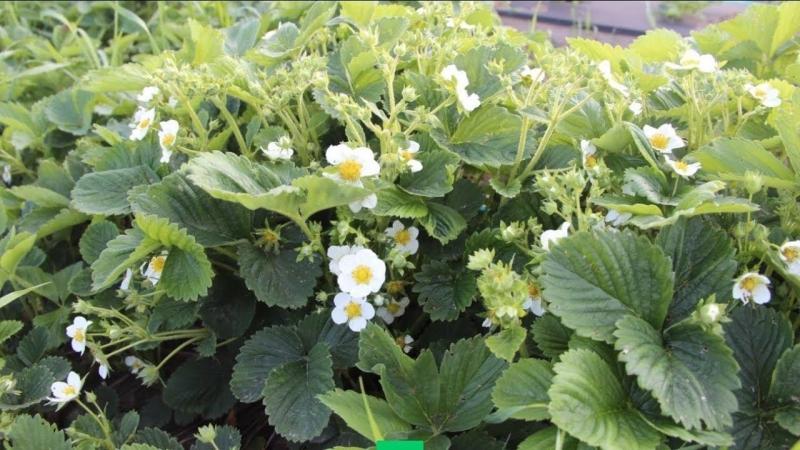 Во саду ли в огороде • С Клубникой Будете Всегда! Если Сделаете Эти Важные Шаги К Урожаю.