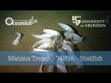 Mariana Trench - 7485m - Snailfish