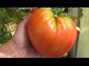 Шпаргалка №1 Как сеять томаты Советы проверенные урожаем