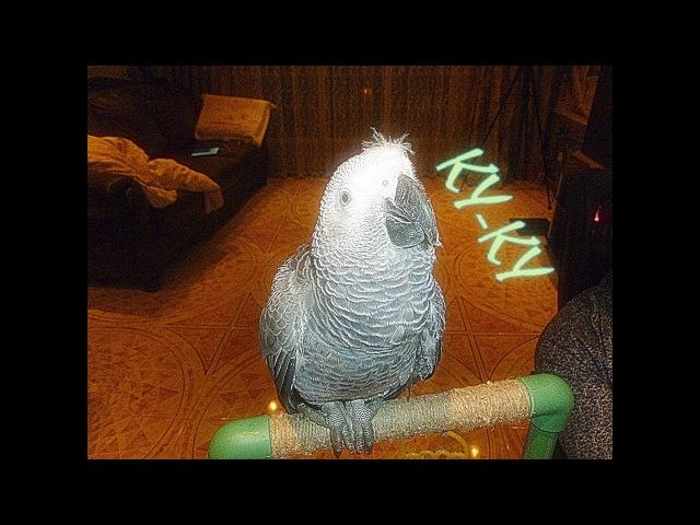 6 месячный Жако Петруня изображает кукушку)6 month Jacquot Peter portrays the cuckoo)