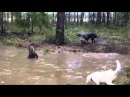 На охоте, бой собак с кенгуру