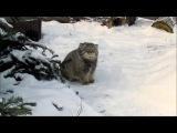 Манул удивлён снегу