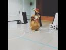 Кенгуру попадает под обстрел