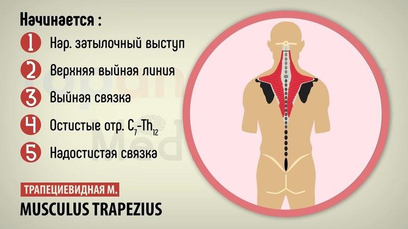 13 Поверхностные мышцы спины 13 gjdth yjcnyst vsiws cgbys