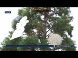 В Ялте нарядили 20-метровую секвойю