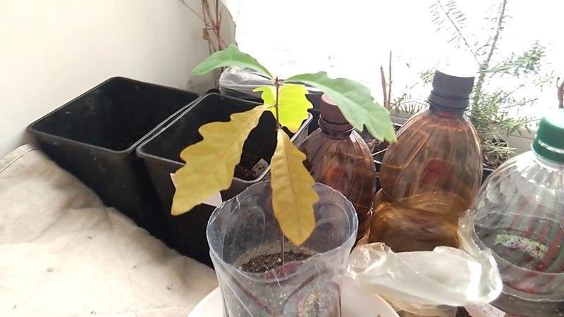 Дуб из желудя - эксперимент с посадкой осенью