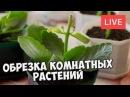 Обрезка комнатных растений 🌸 Виды и сроки обрезки 🌸 Мастер класс