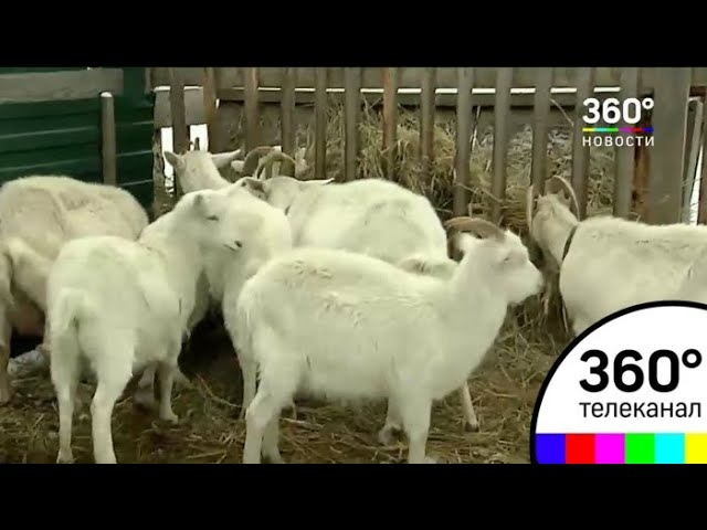 В Щёлкове появится козья ферма на 2 тысячи голов